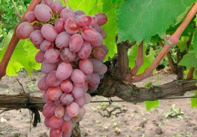 Виноград «Тайфи» — вкусный сорт с историей