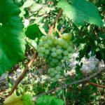 виноград-дружба-фото