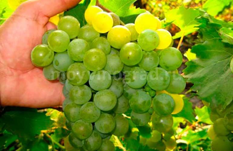 Кисточка винограда сорта Дружба фото
