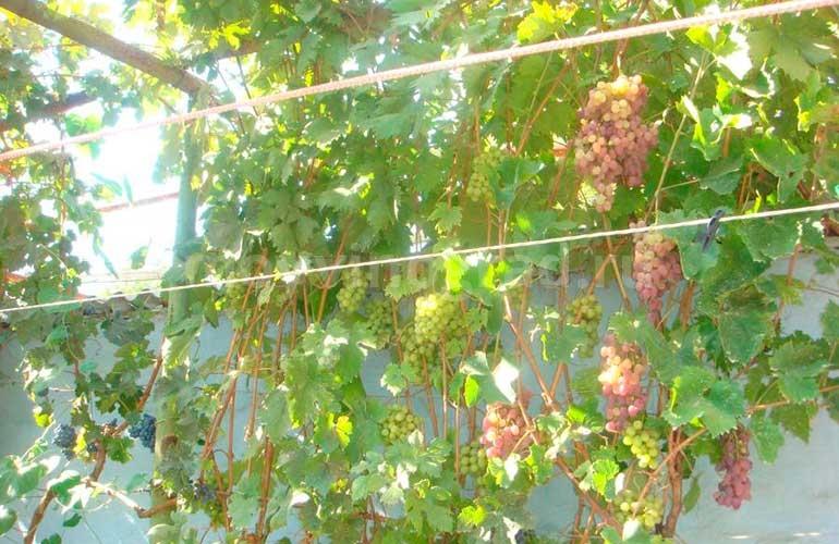 выращивание-винограда-Тайфи-Розовый-фото
