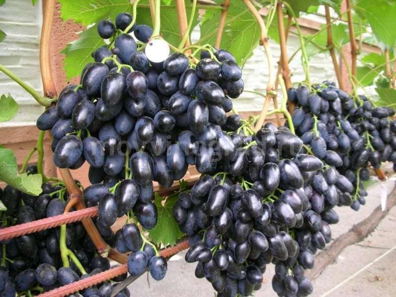 Десертный черный сорт винограда фурор