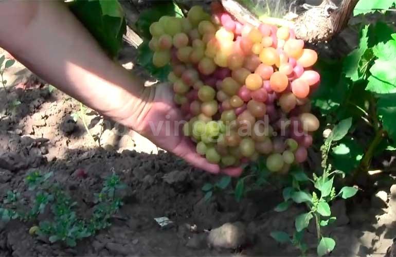 Гроздь-винограда-София-фото