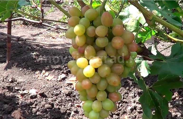 Гроздь-винограда-сорта-София-фото