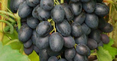 Особо вкусный сорт винограда — «Фурор»