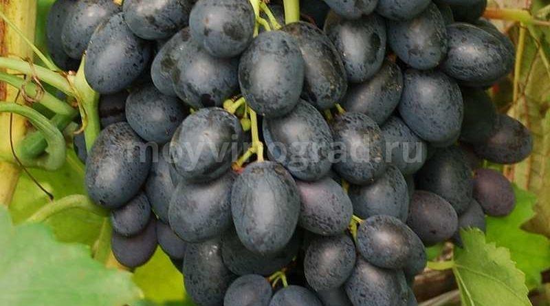 Гроздь десертного винограда фурор