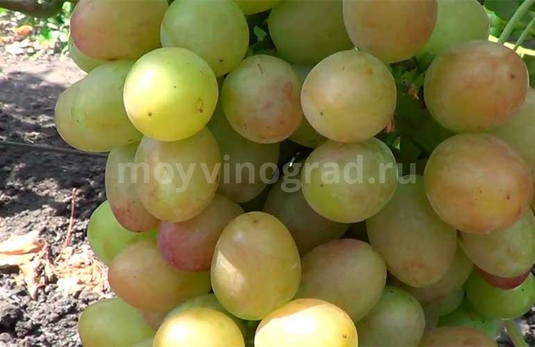 Ягодки-винограда-София-фото