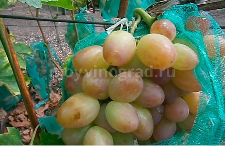 Ягоды-винограда-София-фото