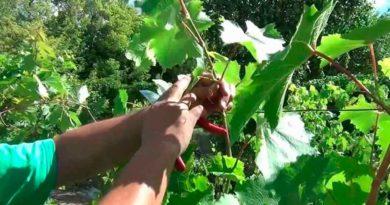 чеканка-винограда-фото