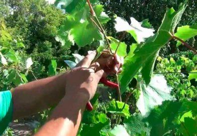 Особенности чеканки винограда