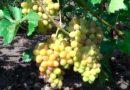 Виноград «София» — один из лучших сортов Загорулько