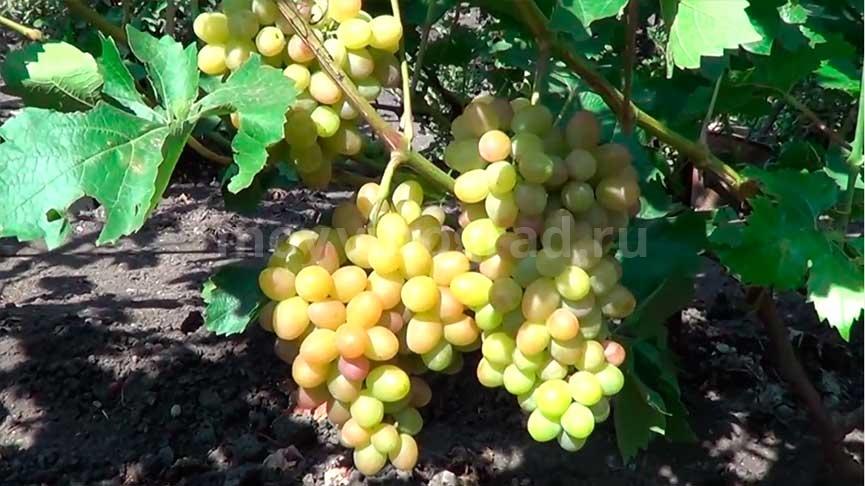 как-выглядит-виноград-софия-фото