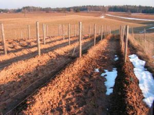 укрытие-винограда-на-зиму-в-траншее-фото