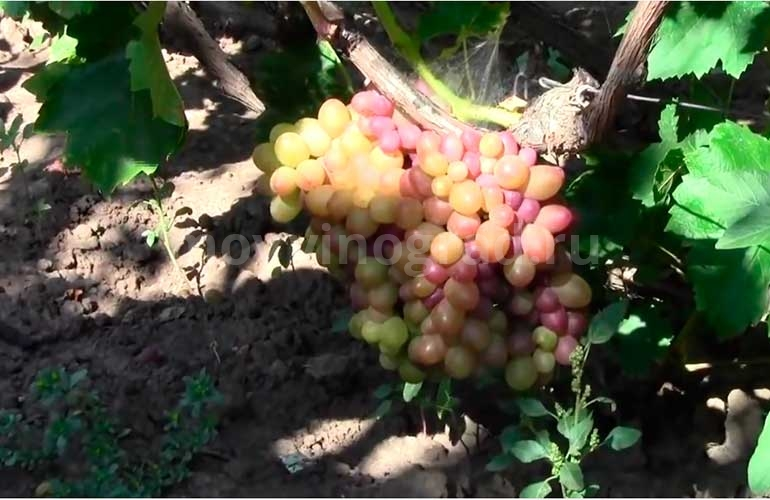 виноград-софия-фото