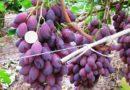 Особо крупный сорт винограда — «Ася»