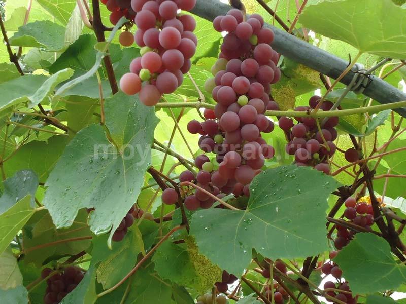 Виноград Лидия: уход обрезка описание сорта ТОП советы дачников