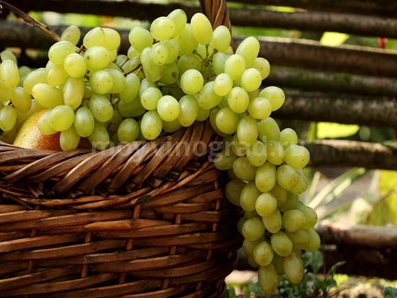 Красивый урожай винограда