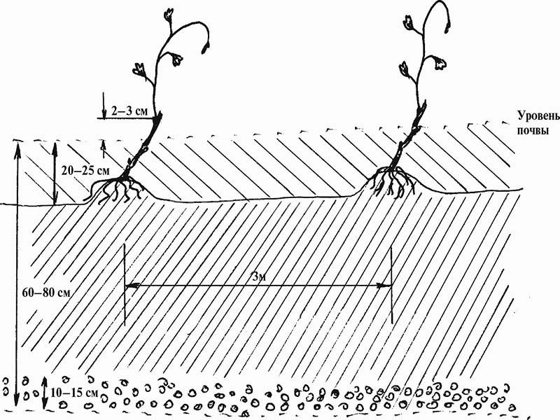 Схема посадки кустов
