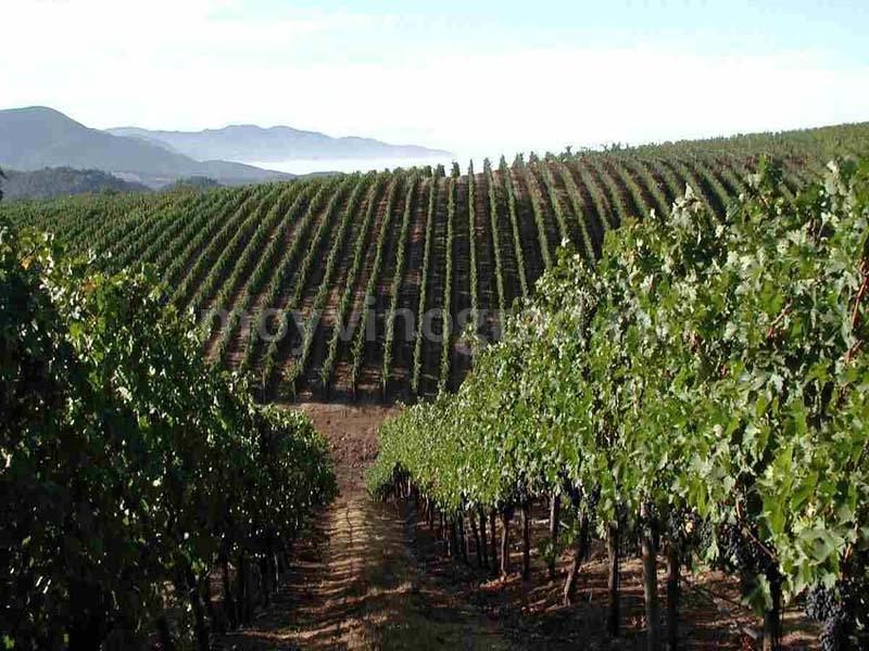 Разведение виноградника