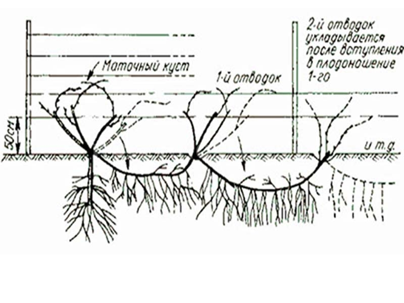 Размножение винограда зелеными черенками летом