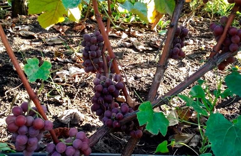 Виноград-Изабелла-Розовая-фото