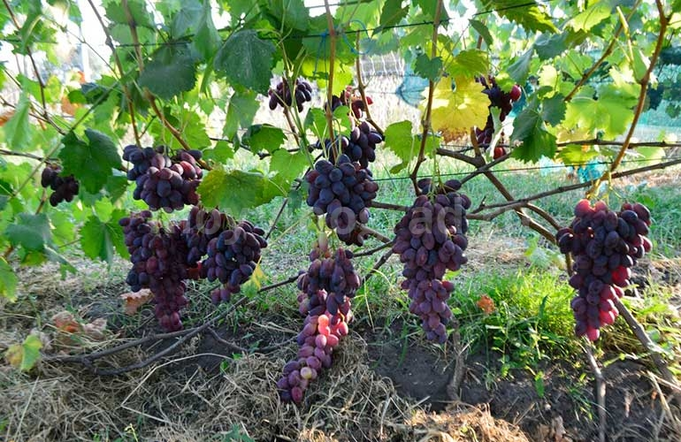 ася-сорт-винограда-фото