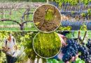 Обработка винограда осенью или как получить здоровый виноградник