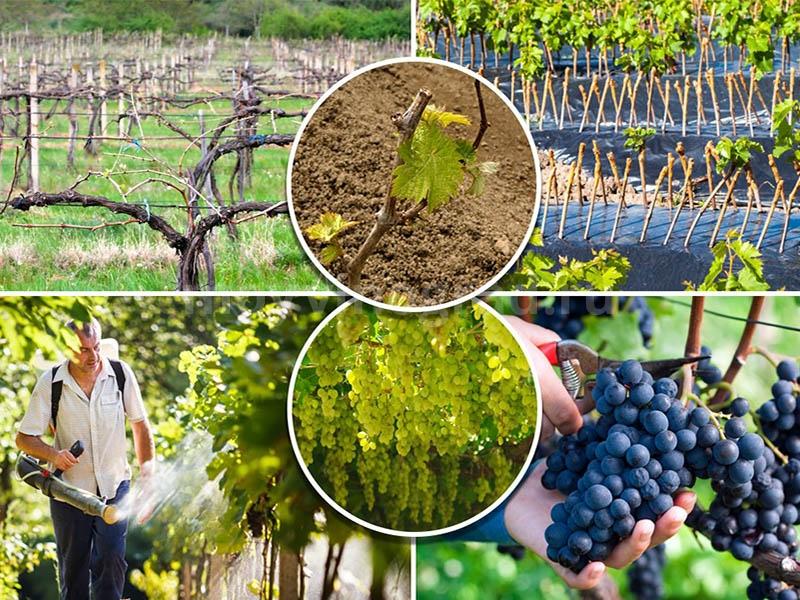 чем обработать виноград от болезней
