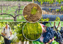 Грамотный уход за виноградом — залог богатого урожая