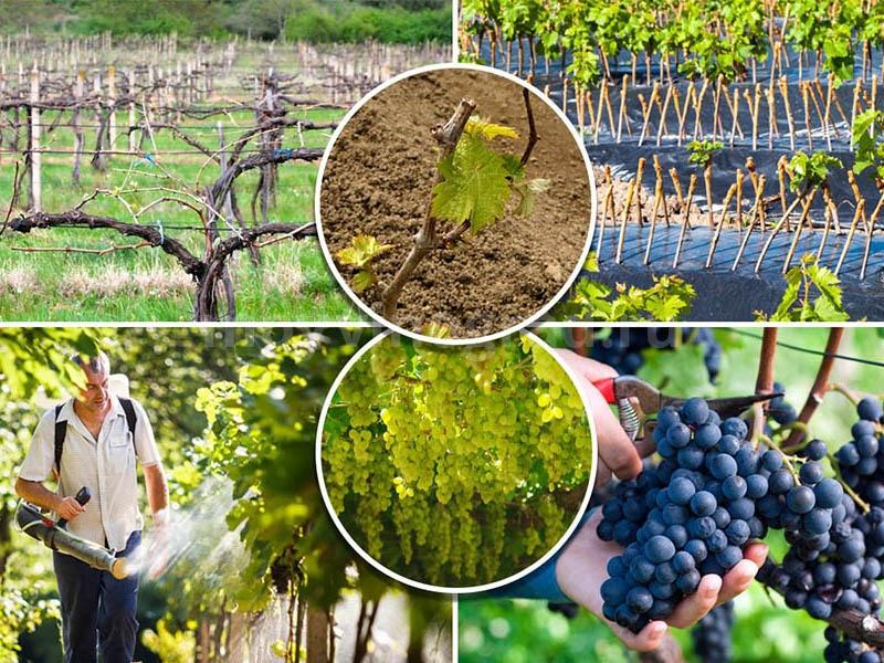 Красивый виноградник