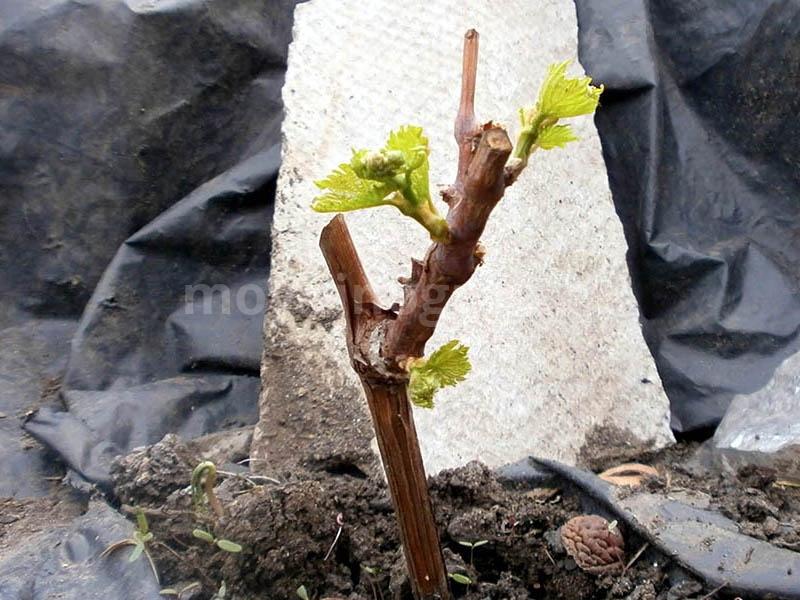 Как сажать осенью декоративный виноград 47