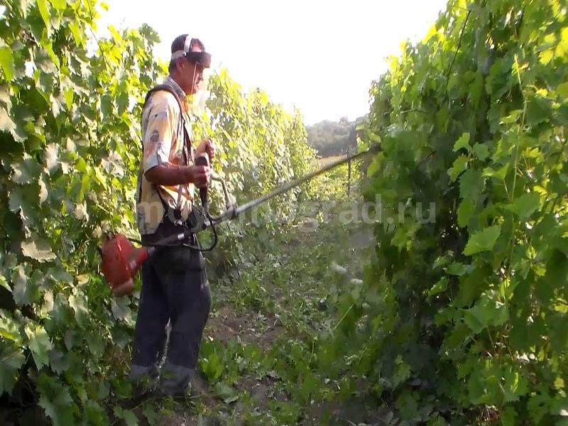 Защита винограда от вредителей