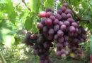 Виноград Эверест — крупный и красивый столовый сорт