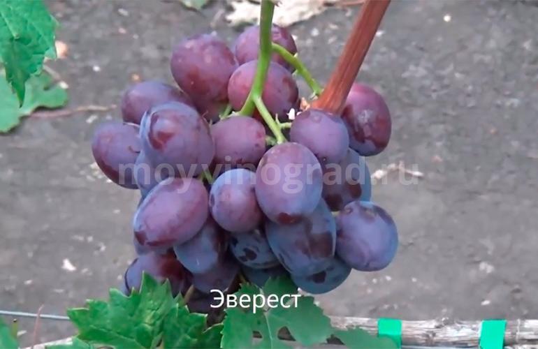 Как-выглядит-виноград-Эверест-фото