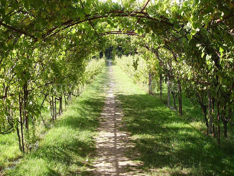 Арки из винограда