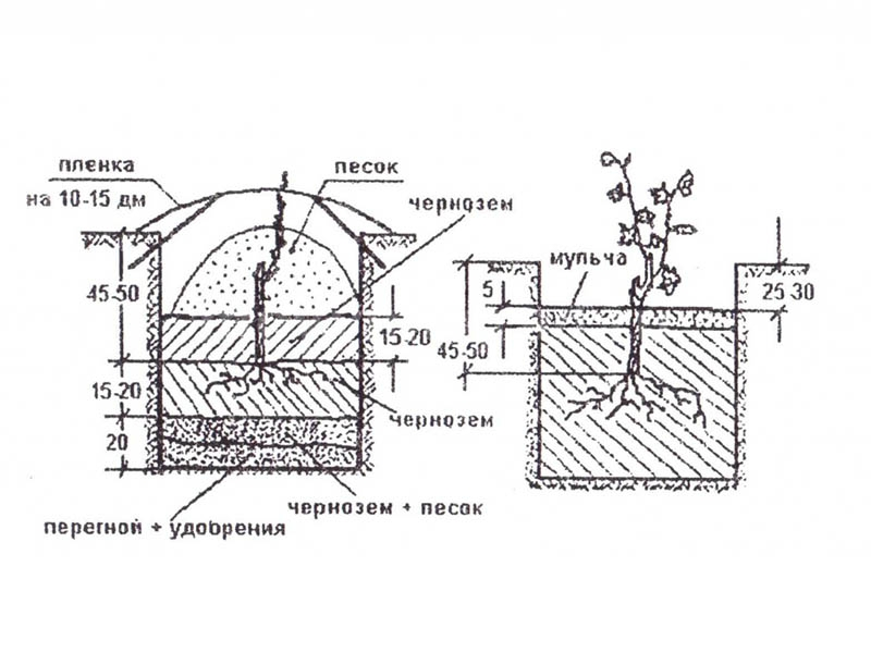 Схема посадки череков винограда