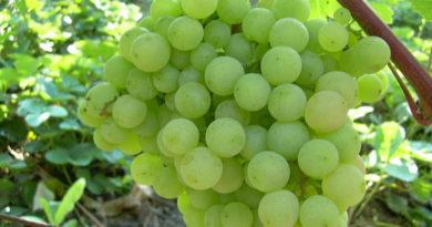 Гроздь винограда супага