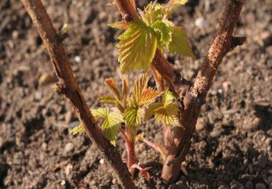 Осенняя посадка черенков или как быстро получить урожай