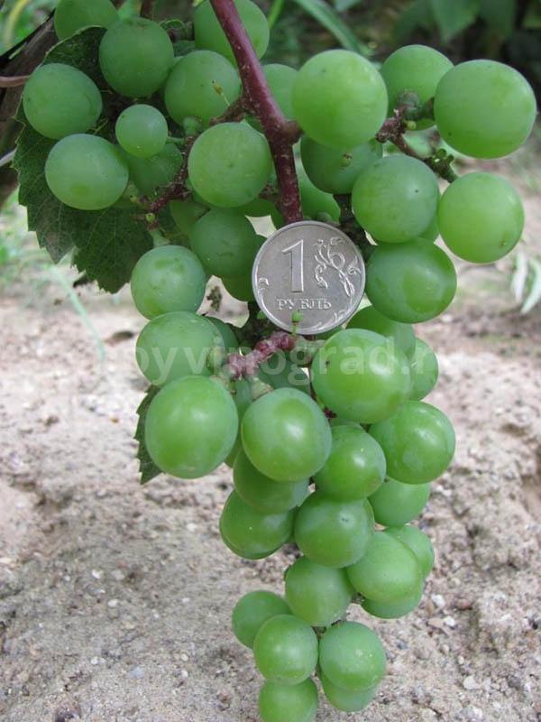 Плоды винограда супага