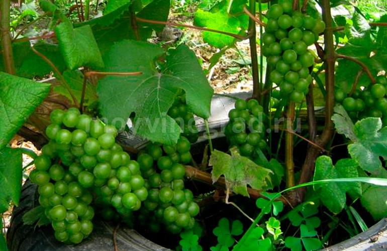 сорт-винограда-супага-фото