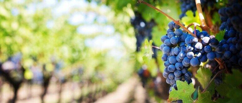 Фото обработки винограда_главная