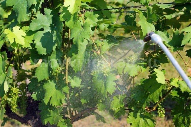 Фото опрыскивания винограда